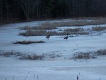 Geese looking for water.  I wonder if they will stay or move to find water?