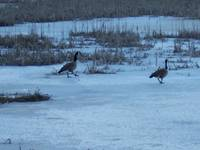 Highlight for album: Geese Return to Mead Road pond only to find ice.
