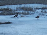 I think we came back early?  Did you pack our ice skates?  These geese spend the summer on the pond at the corner of Mead Road and Buckhollow raising their young.