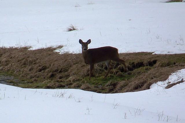 JoAnne Wilkins spotted this deer on Lee Berthiaume's farm on the Berthiaume Road - jwberth012