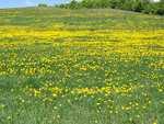 Dandelions in Doug Webbs meadow - jwdandelions002