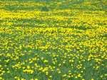 Dandelions in Doug Webbs meadow - jwdandelions003