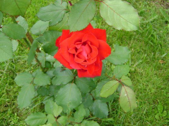 Margie's rose bush is blooming